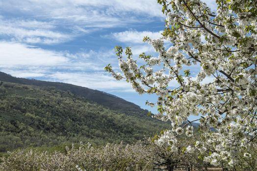 Flowering cherry trees in Jerte Valley in Spain