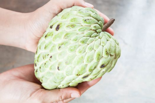 Hand soft caring fresh custard apple from orchard