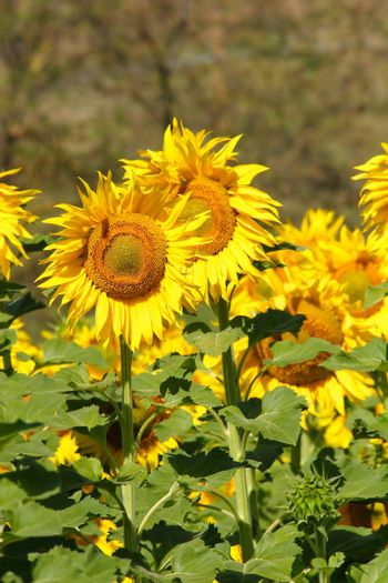 sunflowers, yellow, vibrant, sunny, sunflower, sky, scene, rural, prato, plantation, plant, panorama, overcast, outside, nature, growth, green, flower, field, farm, earth, culture, country, clear, bright, blue, agriculture
