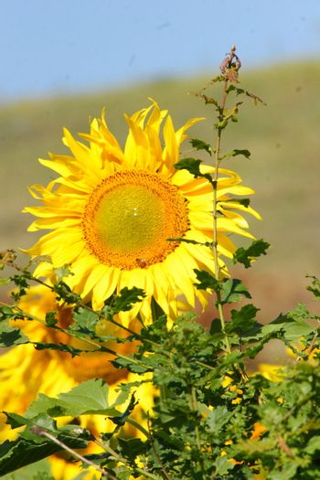 sunflowers, yellow, vibrant, sunny, sunflower, sky, scene, rural, prato, plantation, plant, panorama, overcast, outside, nature, growth, green, flower, field, farm, earth, culture, country, clear, bright, blue, agriculture,