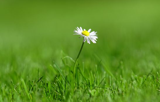 an isolated daisy in green meadow
