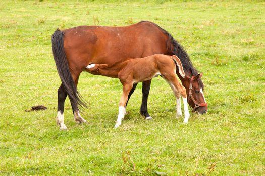 foal drinks from mare in meadow