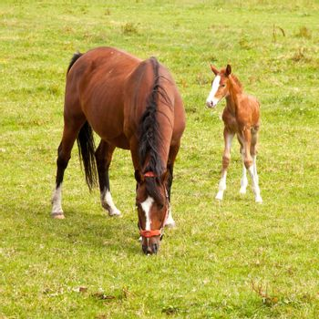 young foal and mare in meadow