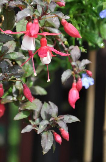 fuchsia growing in a hanging basket showing off its blooms
