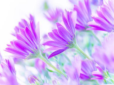 Gentle pink daisy flowers