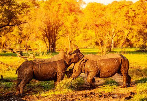 Two fighting rhinoceros