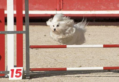 maltese dog  in agility