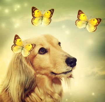 Dachshund dog with butterflies