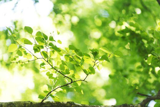Green leaves of birch