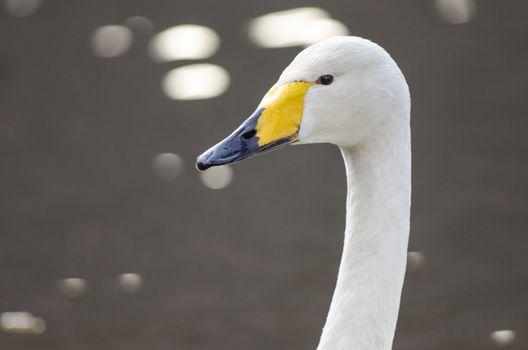 Head of a Whooper Swan
