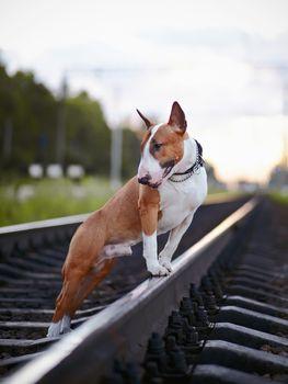 Bull terrier on rails.