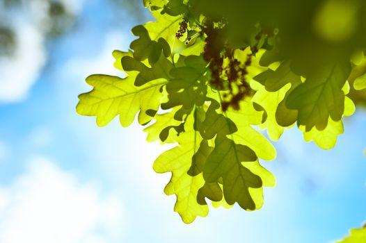 Spring oak leaves