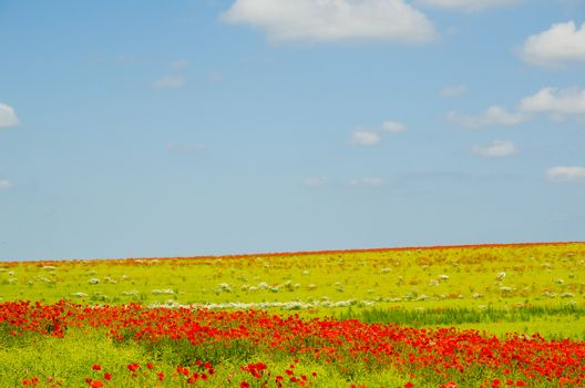 Field with blooming poppies nearby Lejre at Zealand in Denmark