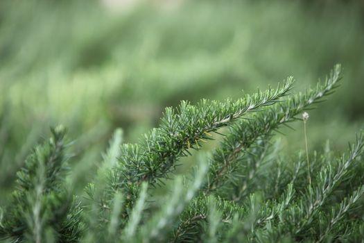 Evergreen pine tree needles