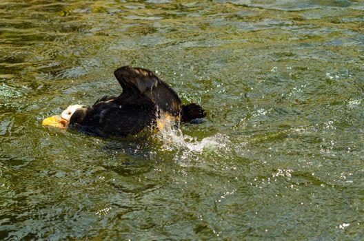 Tufted Puffin splashing around in water