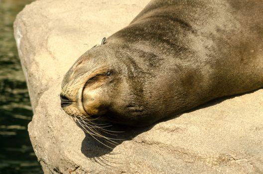 Closeup of the face of a sunbathing sea lion