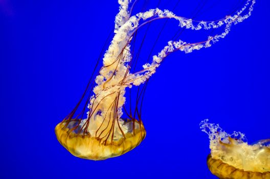 Orangish Sea Nettle Jellyfish with a beautiful blue background