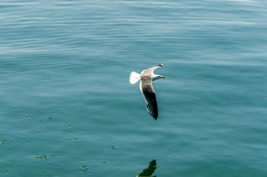 View of a seagull flying over a bay in the Pacific Ocean