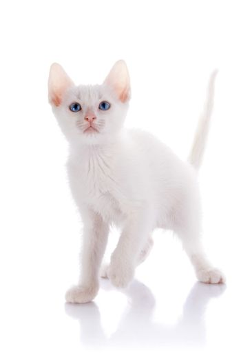 The white kitten with blue eyes costs on a white background.