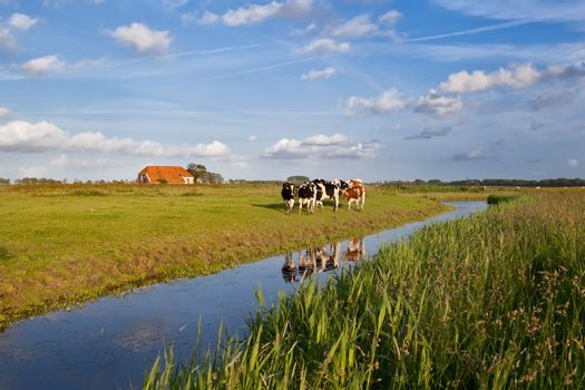 cattle on Dutch farmland