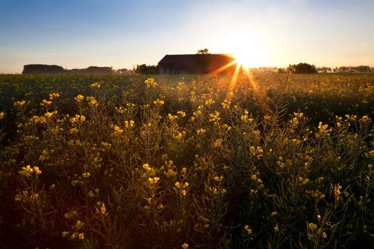 rising sun over rapeseed field