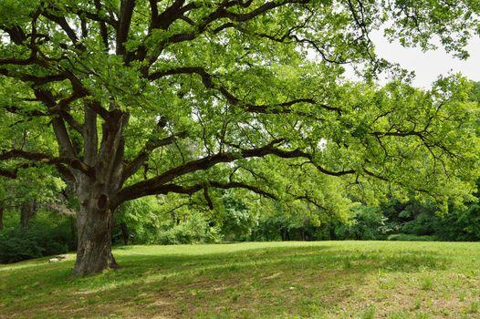 Oak Tree in Park