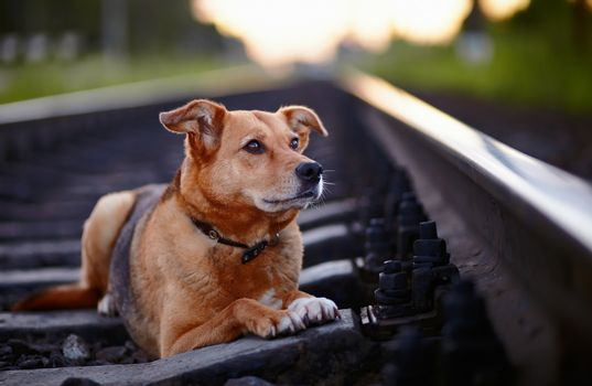 The lost dog lies on rails.