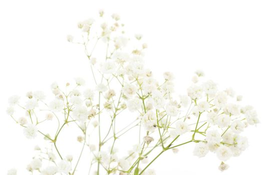 White dianthus isolated on white background