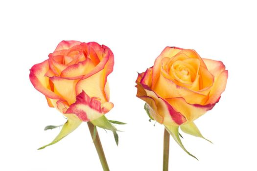 Two red orange roses isolated on white background