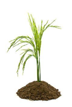 rice in soil