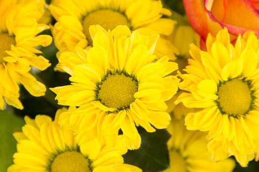 Beautiful blossoms of yellow chrysanthmums