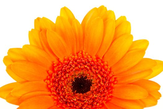 Beautiful orange gerbera on white background