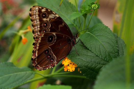 Monarch butterfly, closeup shot