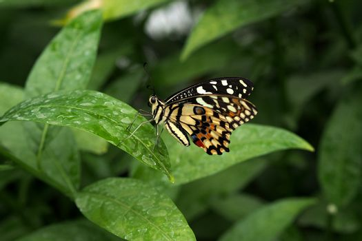 Lacewing butterfly pitched on a leaf