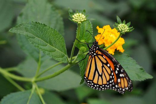 Monarch butterfly sucking nectar