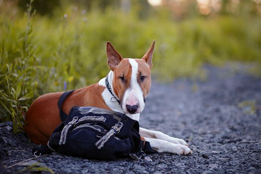 The bull terrier protects a bag.