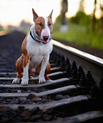 The bull terrier sits on rails.