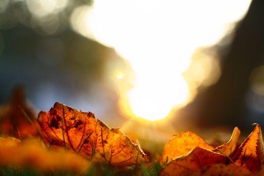 golden leaves on last green grass