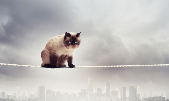 Siamese cat sitting on rope