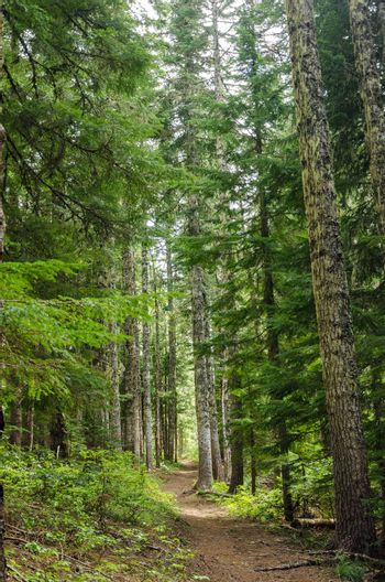 Trail passing through tall pine trees in Oregon