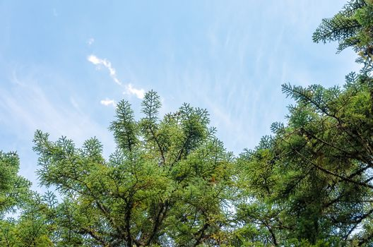 Looking up at pine tree branches and blue sky
