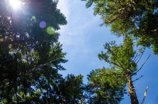 Looking up at pine trees with the sun and some lens flare visible