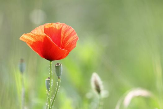 closeup of a beautiful red poppy in bloom growing in the green field