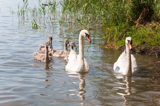 Swan family on a lake in sunlight.