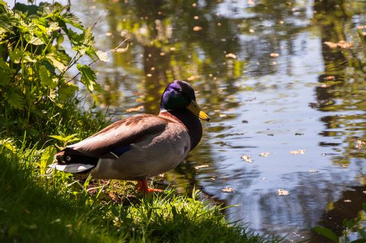 Duck at the pond on the green grass.
