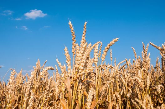 Wheat field with blue sky in background (horizontal)