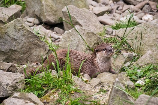 Oriental small-clawed otter among the rocks.