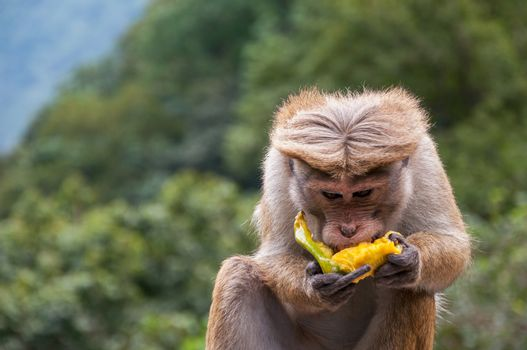 Toque macaque is eating banana and showing finger.