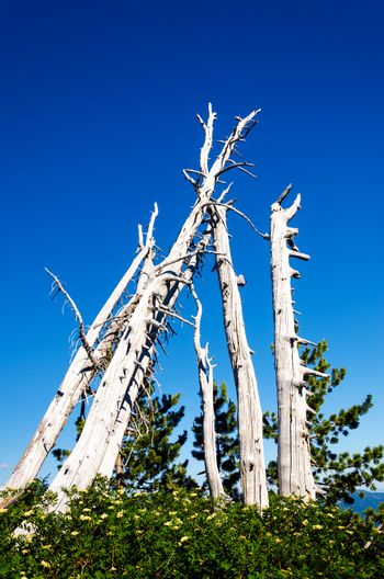 A group of dead and now white pine trees on Mount Hood in Oregon