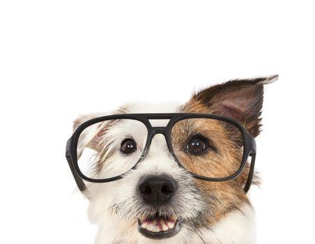 jack russel terrier dog  wearing glasses